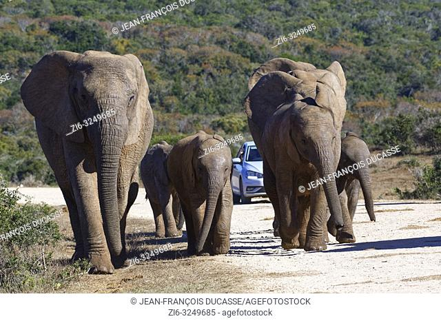 African bush elephants (Loxodonta africana), herd with calves walking on a dirt road, a tourist car at the back, Addo Elephant National Park, Eastern Cape