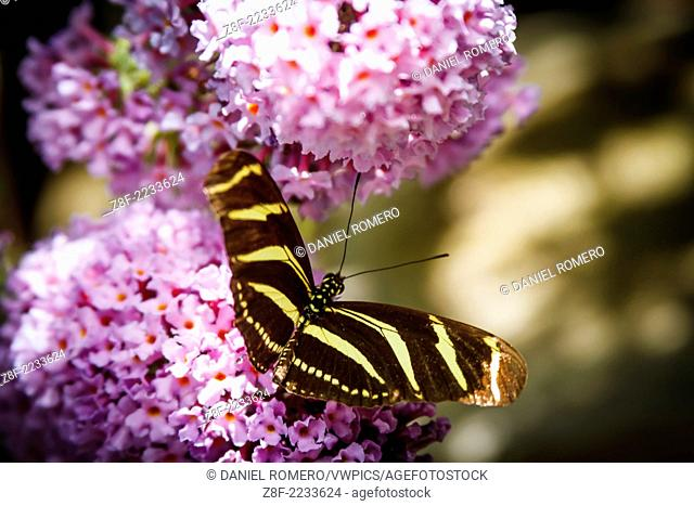 Butterfly: Heliconius charithonia