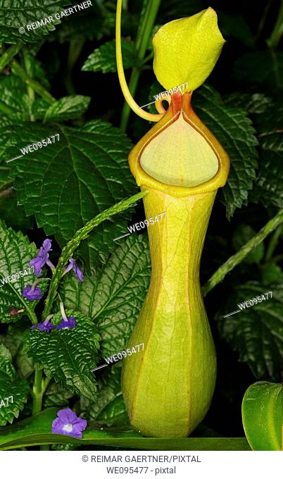 Young Pitcher Plant Nepenthes carnivorous tropical plant with Purple Porterweed flowers