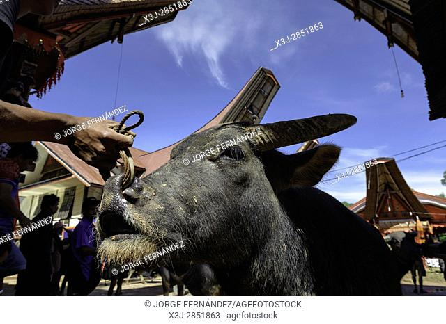 During a traditional ritual funeral of the Tana Toraja relatives, friends and neighbours bring animals for the ritual sacrifice