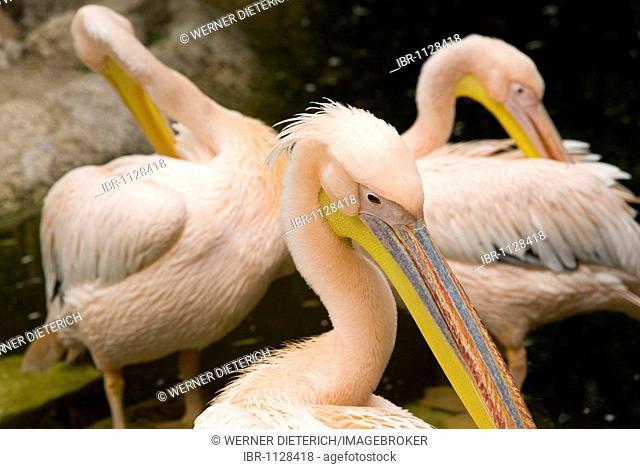 White Pelicans (Pelecanus onocrotalus), Zoo Park Cap Ferrat, Cap Ferrat, near Nice, Cote d'Azur, France
