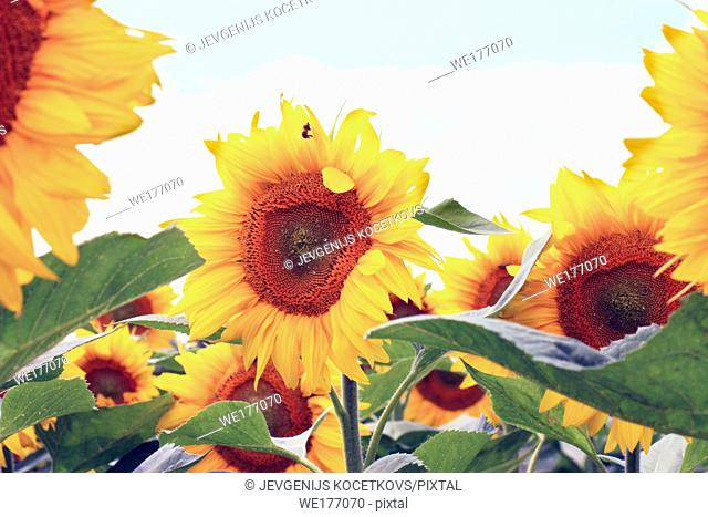 sunflowers on the blue sky background. Agricultural field