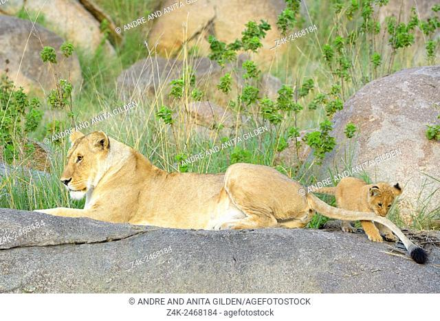 African Lion (Panthera leo) mother and cub, lying and playing on a rock in early morning light, cub grabbing tail, Serengeti national park, Tanzania