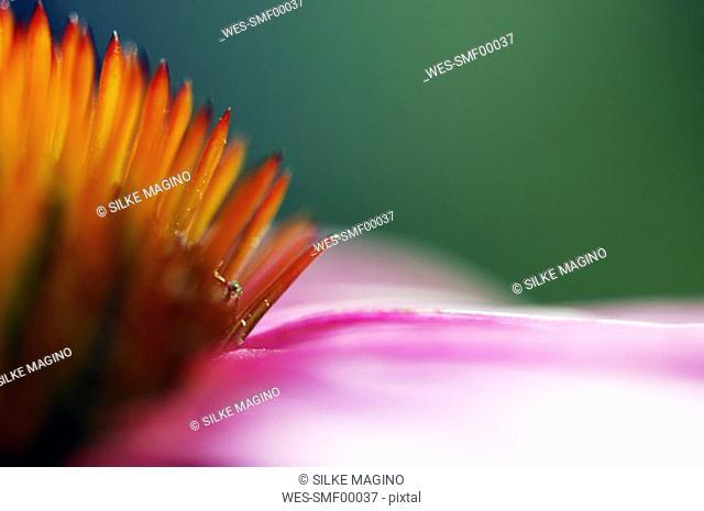 Echinacea purpurea, close-up