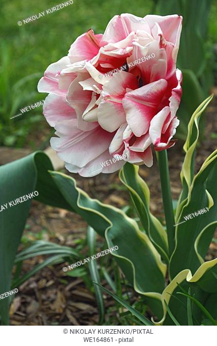 Tulip (Tulipa x gesneriana). Known as Didier's Tulip and Garden Tulip also