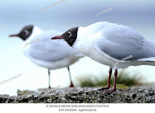 Close-up of two Black-headed Gull (Chroicocephalus ridibundus) standing on a rock