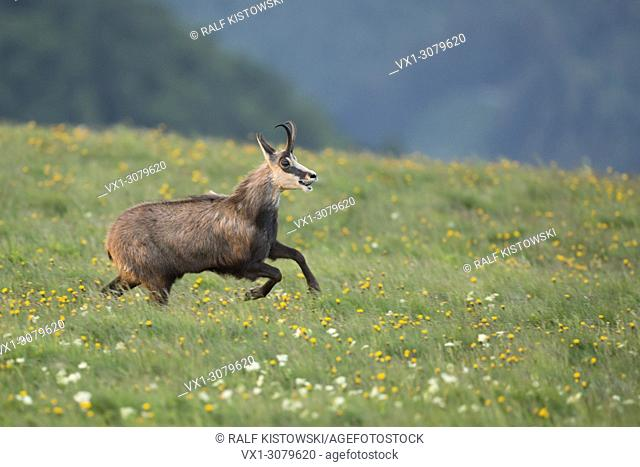 Chamois ( Rupicapra rupicapra ) running, jumping over flowering alpine mountain meadows, in action, full of joy, joyful, wildlife, Europe