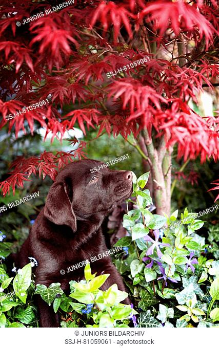 Labrador retriever Scotty, 11 weeks old puppy , sniffing at a leaf