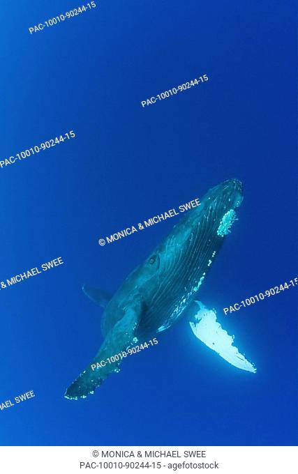 Hawaii, Maui, Humpback Whale Megaptera novaeangliae in ocean underwater