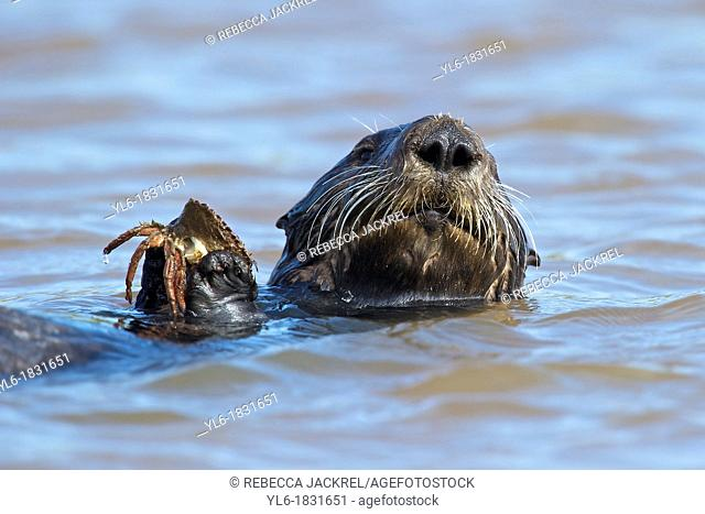 Sea otter holding a crab in Monterey, CA