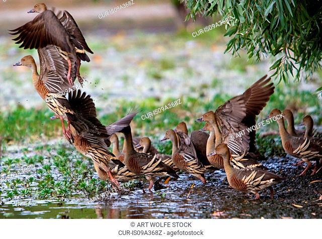 Plumed whistling-ducks, Kakadu National Park, Australia