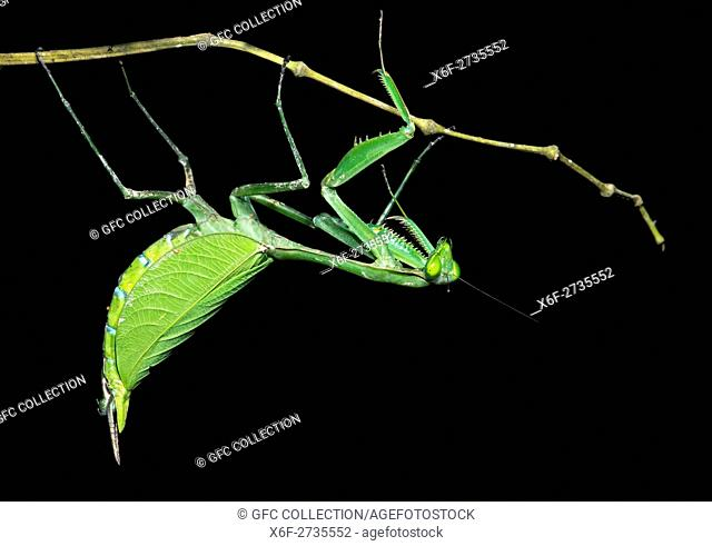 Neotropical Praying Mantis (female), Mantises family (Mantidae), Amazon rainforest, Canande River Reserve, Choco forest, Ecuador