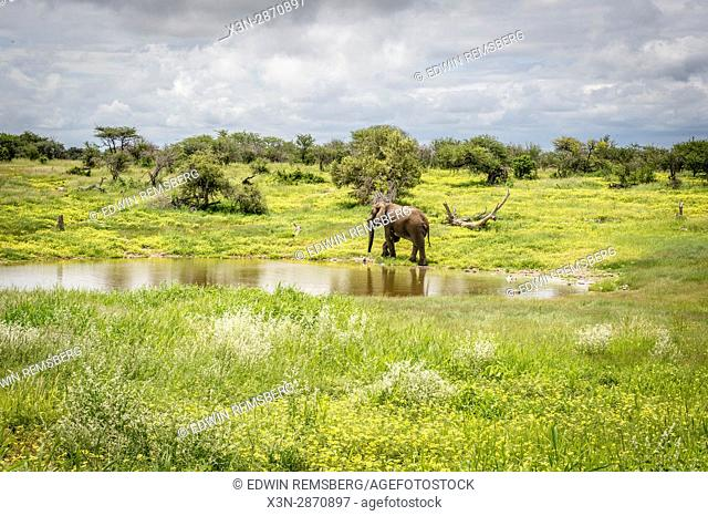 An elephant walks away from a watering hole after drinking at Etosha National Park, located in Namibia, Africa