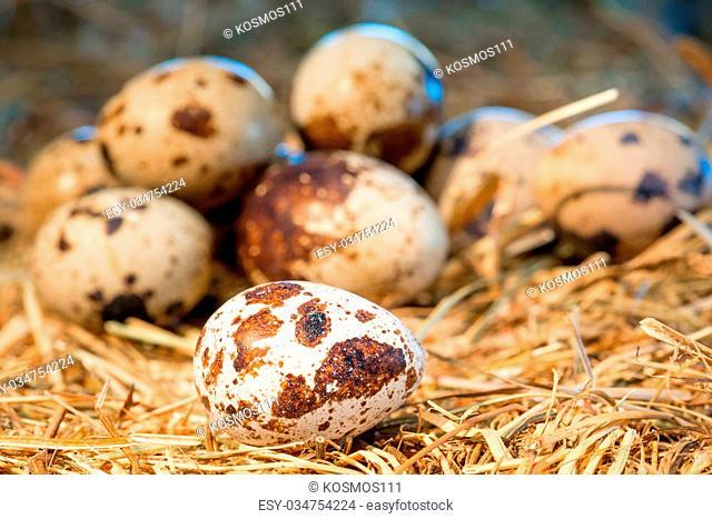 heap of quail eggs in the nest closeup