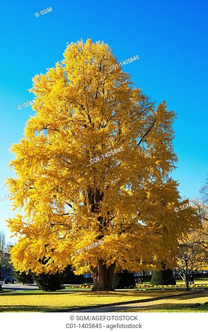 Gingko Biloba tree with autumn foliage, Strasbourg, Alsace, France