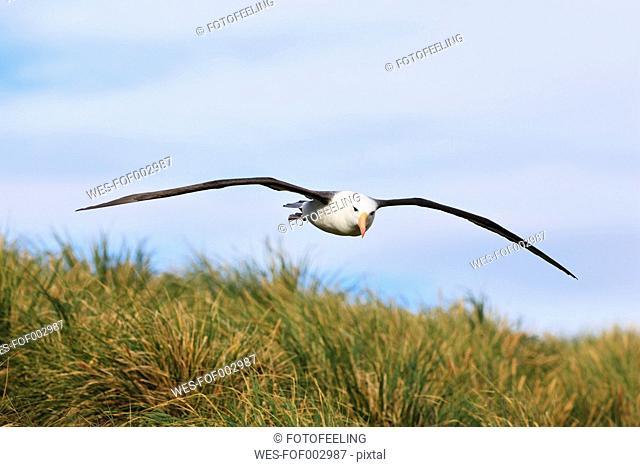 South Atlantic Ocean, British Overseas Territories, Falklands, Falkland Islands, West Falkland, West Point Island, Wandering albatross flying