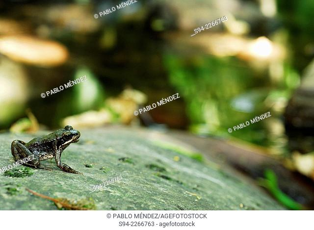 Iberian frog (Rana iberica) sitting on a rock in stream of Ferradal in Valdeorras region, Orense province, Spain