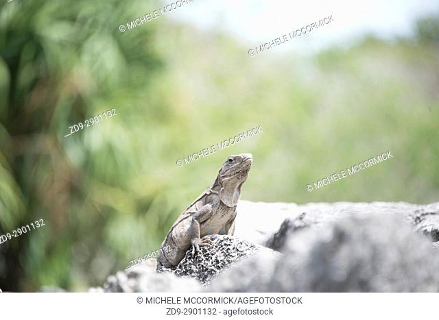 A reptile finds the perfect camouflage among gray rocks on Cozumel