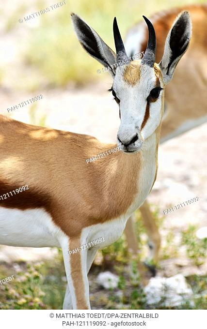 Young springbok (Antidorcas marsupialis) in the Namibian Etosha National Park. This antelope species is distributed exclusively throughout Southern Africa