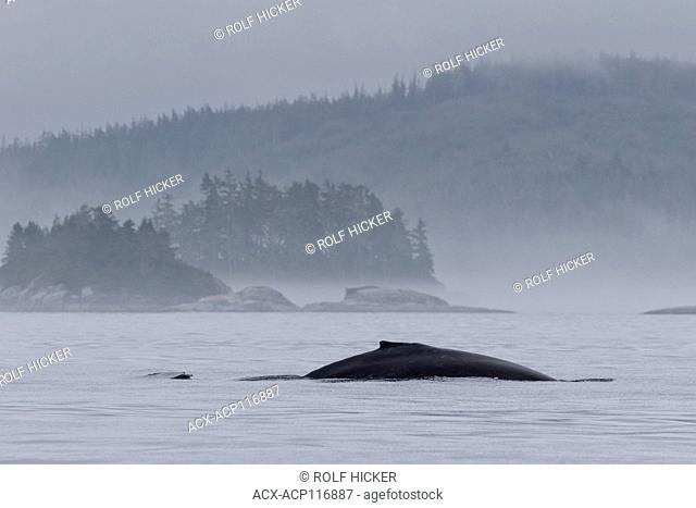 Foggy morning with a humpback whale in front of little island of the Broughton Archipelago Provincial Marine Park off Vancouver Island in British Columbia