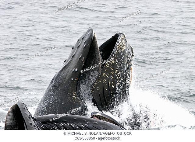 Humpback Whales (Megaptera novaeangliae) cooperatively 'bubble-net' feeding in Southeast Alaska, USA. Pacific Ocean