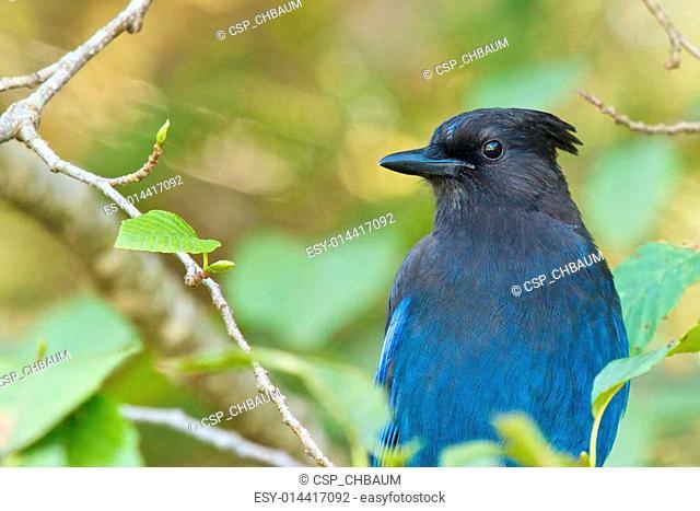 Stellar Blue Jay 1