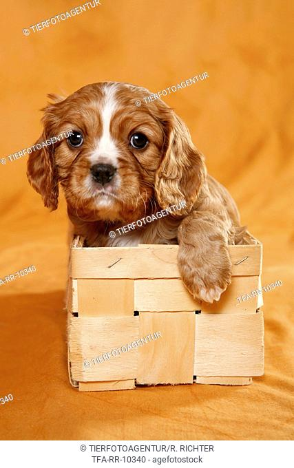 Cavalier Puppy in basket