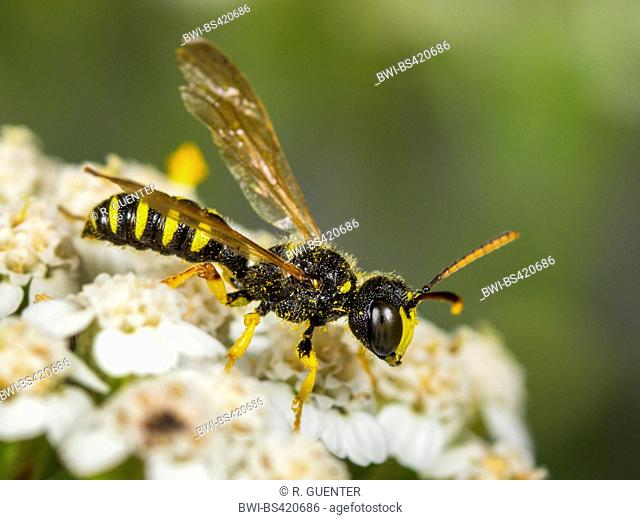 Five Banded Tailed Digger Wasp (Cerceris quinquefasciata), Male foraging on Common Yarrow (Achillea millefolium), Germany