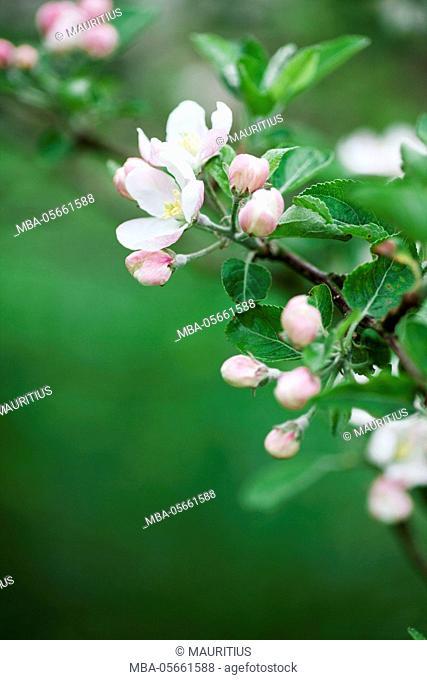 Apple blossoms, Apple blossoms