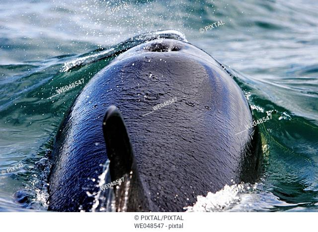A pod of four Orcas (Orcinus orca) - also called Killer Whales - traveling from Admiralty Island to Douglass Island via Shelter Island and Favorite Channel