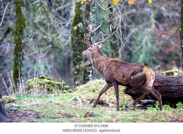 France, Haute Saone, Private park, Red Deer (Cervus elaphus)