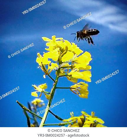 A honey bee flies over a yellow flower as a chemtrail is seen in the background in Prado del Rey, Sierra de Cadiz, Andalusia, Spain