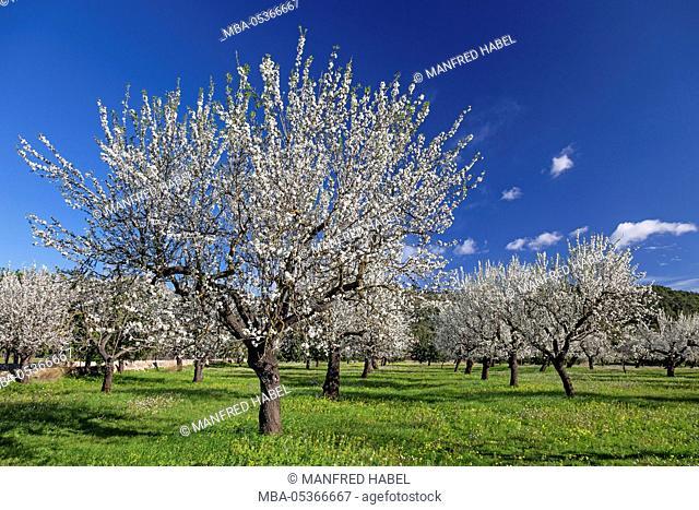 Almond blossom at S'Esgleieta, island Majorca