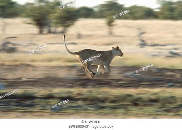 lion (Panthera leo), hunting, Namibia, Etosha National Park