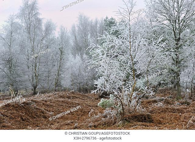 covered in frost birch trees in a clearing covered by fern in the Forest of Rambouillet, Haute Vallee de Chevreuse Regional Natural Park, Yvelines department
