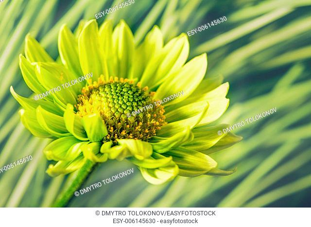 Daisy flower against abstract natural backgrounds