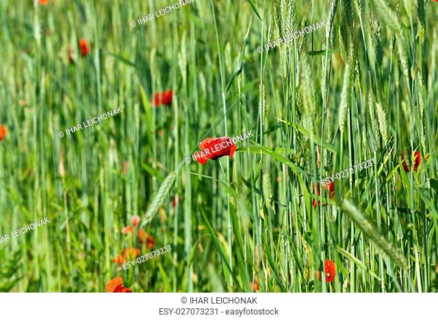 photographed close-up of blooming red poppies in summer. agricultural field