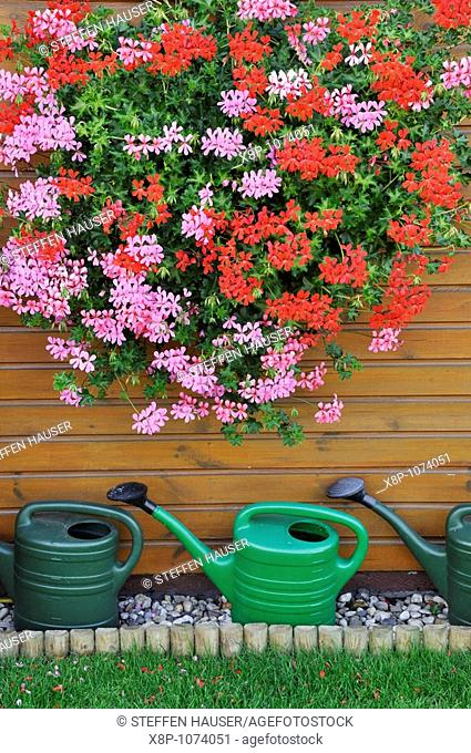 Pelargoniums Pelargonium with watering cans