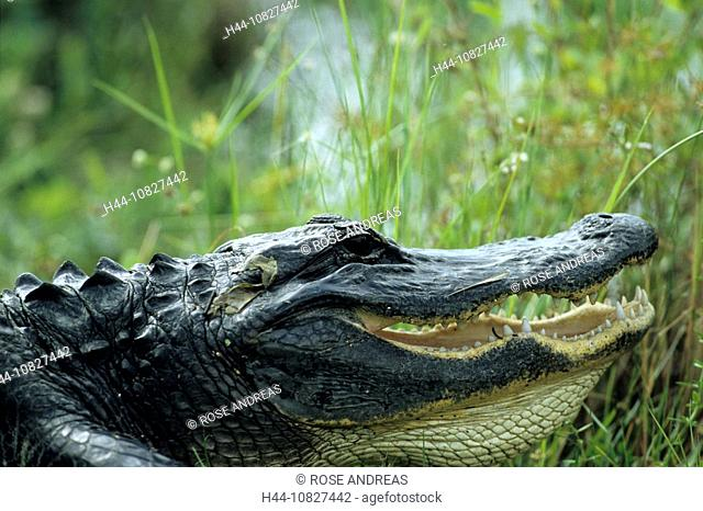 Mississippi Alligator, crocodile, alligator mississippiensis, close-up, head, crocodile, reflection, USA, America, Uni