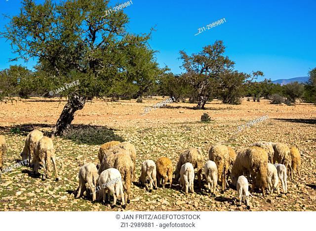 Sheep in dry field with argan trees in Maroc