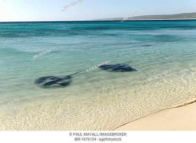 Two stingrays (Dasyatidae) in the water close to the beach, Hamelin Bay, Augusta, Western Australia, Australia