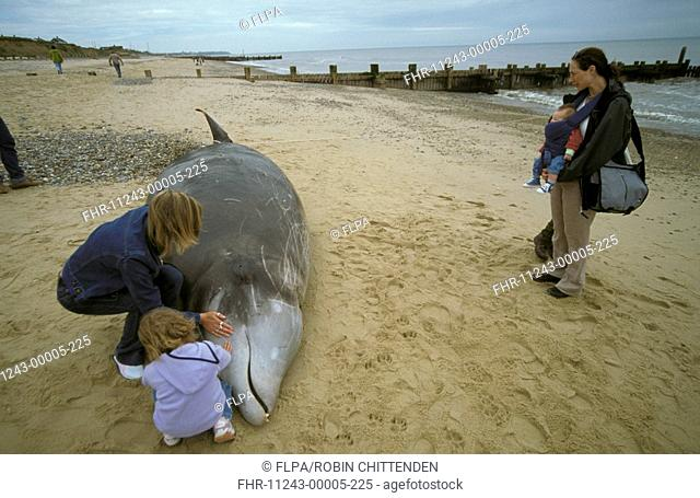 Cuvier's Beaked Whale Ziphius cavirostrisinga Adult and child touching stranded whale - Ostend, Norfolk