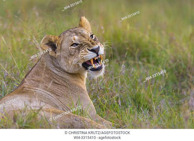 African Lion (Panthera leo) hissing, Maasai Mara National Reserve, Kenya, Africa