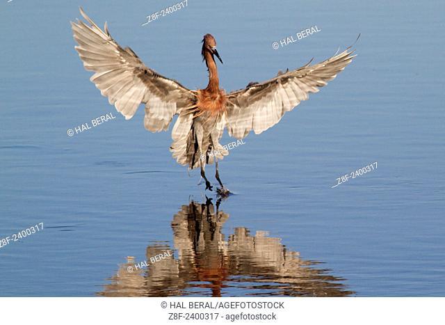 Reddish Egret landing. USA