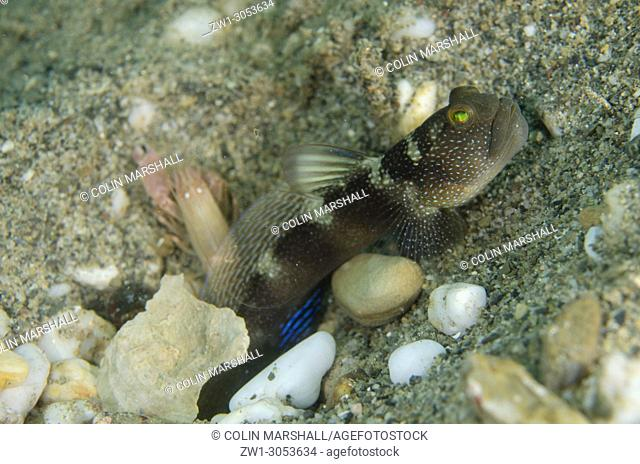 Variable Shrimpgoby (Cryptocentrus fasciatus) and Snapping Shrimp (Alpheus sp. ) at hole on sand, Dili Rock East dive site, Dili, East Timor (Timor Leste)