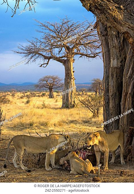 Masai lion or East African lion (Panthera leo nubica syn. Panthera leo massaica) feeding on a African buffalo or Cape buffalo (Syncerus caffer) under and Baobab...