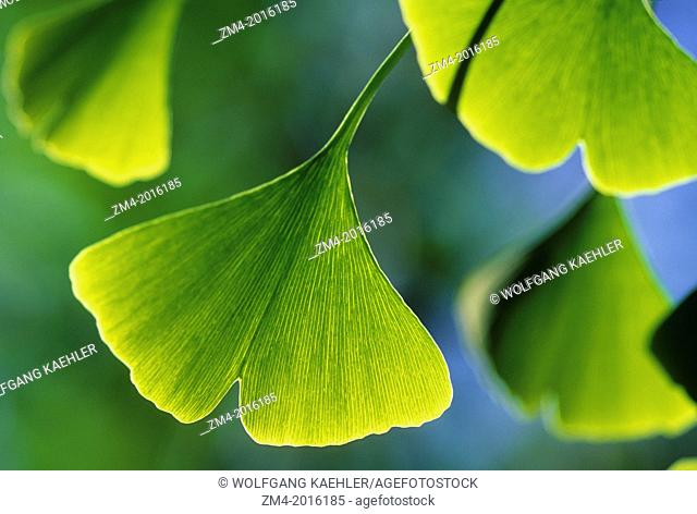 CHILE, SANTIAGO, CLOSE-UP OF GINGKO TREE LEAF