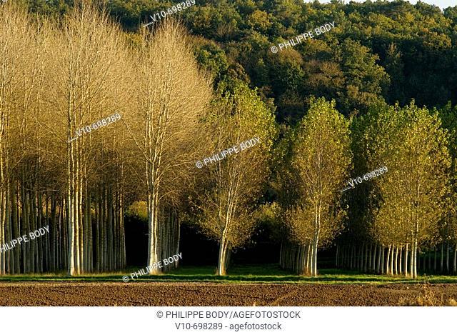 Poplar trees, Indre et Loire, France