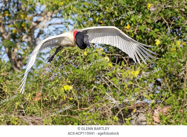 Jabiru (Jabiru mycteria) flying in the Pantanal region of Brazil