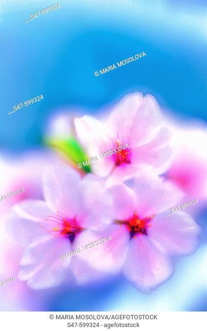 Cherry Blossom. Yoshino Cherry. (Prunus x yedoensis ). April 2006. Maryland, USA
